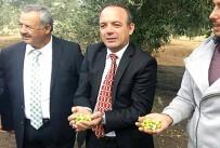 Burhaniye'de Zeytin Hasadını Protokol Başlattı