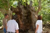 TARİHİ BİNA - Bin 200 Yıllık Ağaç Bakıma Alındı