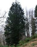 GÜMELI - En Yaşlı Porsuk Ağacının Bulunduğu Alan Tabiat Anıtı İlan Edildi