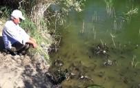 AYNALı SAZAN - Tarlasına Yaptığı Gölette Balık Yetiştiriyor