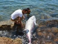 ORKİNOS - Didim'de 2 orkinos kıyıya vurdu