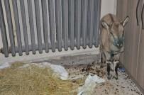Yaralı Yavru Dağ Keçisi, Belediyede Misafir Ediliyor