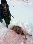 Aç Kalan Kurtlar Kangal Köpeğini Yedi