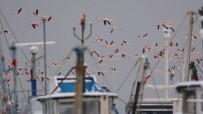 DOĞA FOTOĞRAFÇISI - Flamingolar Balıkçı Barınağını Mesken Tuttu