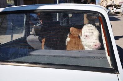 Şanlıurfa'da 'Dana Ferhat' vakası