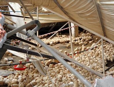 Binlerce tavuk ve civciv telef oldu