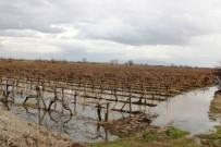 ÜZÜM BAĞI - Üzüm Bağları Sular Altında Ama Üretici Memnun