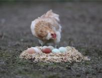 MACARISTAN - 'Yeşil yumurtlayan tavuk' karaborsa oldu