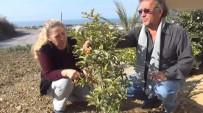 MANGO - Emekli Çift, 'Çikolata Meyvesi' Yetiştiriyor
