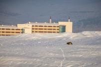 KAFKAS ÜNİVERSİTESİ - Kars'ta Aç Kurtlar Şehir Merkezine İndi