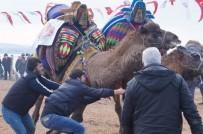 DALYAN - Lapseki'de 7'İnci Geleneksel Deve Güreşleri Gerçekleştirildi