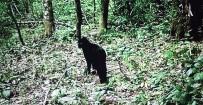 BARTIN ÜNİVERSİTESİ - Küre Dağları'nda Siyah Yaban Kedisi Görüntülendi