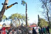 Milas'ta 100 Yıllık Ağaçlar Kesildi