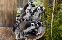 İZMIR DOĞAL YAŞAM PARKı - Soyu Tükenmekte Olan Sevimli Lemurlar Çoğaldı