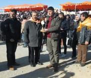 Burhaniye'de Deve Güreşlerini 10 Bin Kişi İzledi