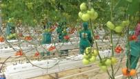 ATAERKIL - Eksi 40 derecede domates üretimi