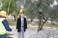 HALK BANKASı - Parklardaki Zeytin Ağaçları Muhtacın Sofrasına Lezzet Katıyor