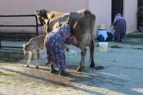 GARIBAN - Pazarın Tüm İnekleri Esma Teyze'den Soruluyor