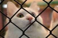 YÜZÜNCÜ YıL ÜNIVERSITESI - Van Kedilerinin Kırmızı Alarm Düzeyinde Nesli Tehlikesi Yok