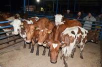Milas'ta Genç Çiftçilere Büyükbaş Hayvan Desteği