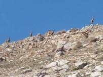 KEÇİ - Niğde'de Yaban Keçisi Sayısı Arttı