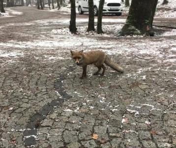 Gören şoke oldu İstanbul'a tilki indi