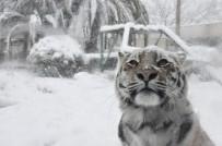 HAYVANLAR ALEMİ - Sibirya Kaplanlarının Kar Keyfi