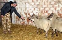 MERINOS - Dev Fransız Koyunları Bursa'da