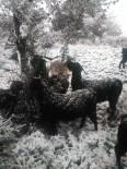KEÇİ - 'Keçi İnadı' Engel Tanımıyor