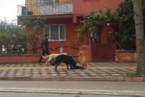 REHABİLİTASYON MERKEZİ - Başıboş Köpekler Çocukların Gözü Önünde 4 Yavrusu Olan Anne Kediyi Boğarak Öldürdü
