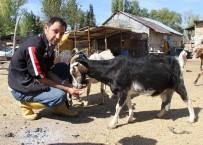 KEÇİ - Kabızlık Sorunu Çeken Çocuğu İçin Keçi Beslemeye Başladı