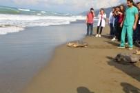 MUSTAFA KEMAL ÜNIVERSITESI - Tedavi Edilen Deniz Kaplumbağaları Doğal Ortamlarına Bırakıldı