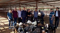 KEÇİ - Genç Çiftçilere 74 Küçükbaş Hayvan Dağıtıldı