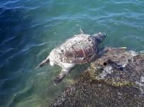 Milas'ta Bir Caretta Caretta Ölüsü Daha Kıyıya Vurdu