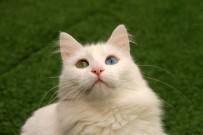 ARAŞTIRMA MERKEZİ - En Güzel Van Kedisi 'Kartopu' Oldu