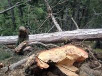 YAŞLI ADAM - Kestiği Ağacın Altında Can Verdi
