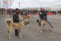 ÇOBAN KÖPEĞİ - Sivas'ta Çoban Köpekleri Güzellik Yarışması