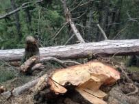 YAŞLI ADAM - Tosya'da Kestiği Ağaç Üstüne Düşen Adam Öldü