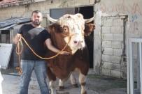 MıSıR - 1 Ton 750 Kiloluk Dana 40 Bin Liraya Satıldı