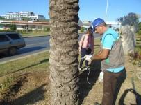 ÇAM KESE - Alanya'da Çam Ağaçları Zararlılarına Karşı Biyolojik Mücadele