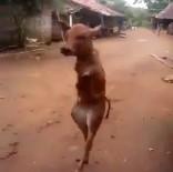 AMATÖR KAMERA - Arka Ayakları Üzerinde Yürüyor