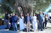 ÖLÜMSÜZ - Bin 800 Yıllık Ağaçtan Çıkan Zeytinyağı 22 Bin Liraya Satıldı