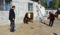 Genç Çiftçi Projesi Kapsamında İlk Buzağı Alındı