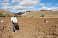 Oltu'da Güzlük Buğdaylar Ekiliyor