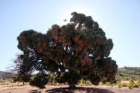 KAR YAĞıŞı - 260 Yaşındaki Ağaç Görenleri Şaşırtıyor