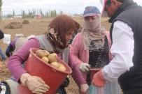 YERLİ TOHUM - 'Kadın Elinde Yerli Patates' Projesinde Hasat Yapıldı