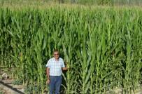 MıSıR - Kayseri Şeker'in Sözleşmeli Silajlık Mısır Ekiminde Talep Patlaması Yaşanıyor