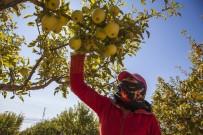TARıM - Ahlat'ta Elma Hasadı Başladı