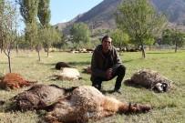 HAYVAN - Çoban Uyuyakaldı, Kurtlar 40 Koyunu Telef Etti