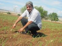 MEHMET DOĞAN - Sarımsakta Yaklaşan Hasat Zamanı Çiftçinin Umutlarını Da Yeşertiyor